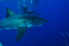 DSC_0369 (DiLyBe) Tags: white mexico island shark explorer great scuba diving cage guadalupe isla nautilus