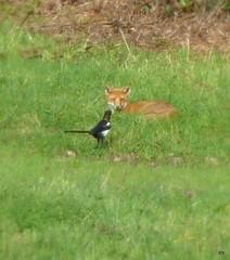 One to One (jump for joy2010) Tags: england field birds august somerset fox magpie mammals highbridge wildanimals animalbehaviour 2011
