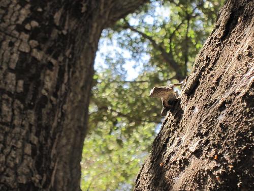 oaks and lizard 006