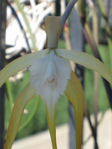 Brassavola cucullata close-up