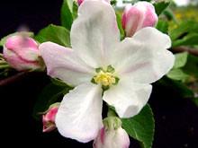 M.27 EMLA Blossom