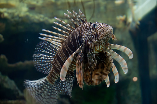 Lionfish by indigo_iggy, on Flickr