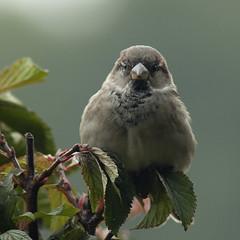 Male Sparrow (pe_ha45) Tags: sparrow spatz ausdemkchenfenster