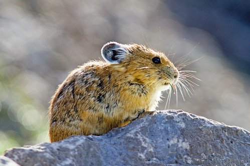 Pika near Medicine Lake