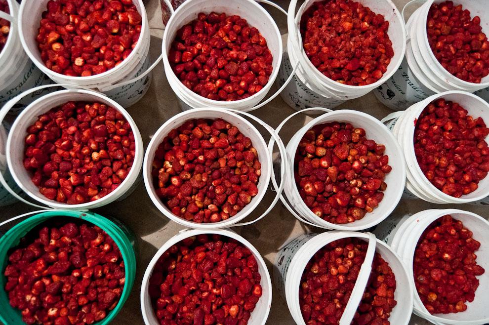 Miles de frutillas son almacenadas en grandes frigoríficos a una temperatura de -4 grados, antes de ser llevadas a cocción para la producción de pulpas de frutilla, materia prima con la que cuentan las heladerías de nuestro país. (Elton Núñez)