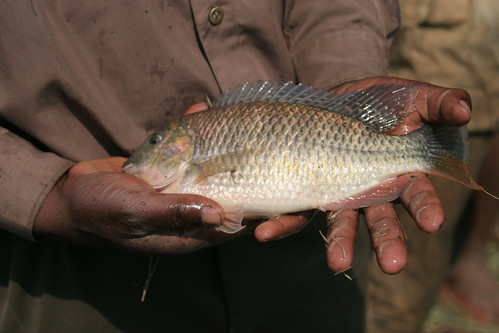 Tilapia in Malawi. Photo by Stevie Mann, 2007.