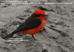 Vermillion flycatcher Birding Peru (7) (Nature Expeditions 06) Tags: trip vacation urban bird peru nature birds holidays tour lima birding stefan andes trips guide vermilion peruvian vermilionflycatcher flycatcher sanisidro pyrocephalusrubinus expeditions tyrannidae pyrocephalus rubinus elolivar birdguide lomasdelachay pantanosdevilla natureexpeditions birdinginperu austermhle birdingperu birdinginlima flycatchersofperu