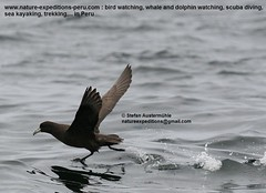 White-chinned petrel Birding Peru (1) (Nature Expedtions 07) Tags: ocean trip sea vacation bird peru nature islands marine holidays tour lima birding reserve stefan national oceanbirds trips guide seabirds paracas pelagic ballestas ballestasislands petrel expeditions pucusana marinebirds birdguide procellariidae pelagicbirds whitechinnedpetrel procellaria procellariaaequinoctialis pelagicbirding aequinoctialis whitechinned nationalreserveofparacas natureexpeditions birdinginperu austermhle birdingperu birdinginlima marinebirdsofperu oceanbirdsofperu pelagicbirdsofperu petrelsofperu