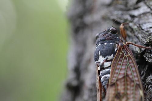 フリー写真素材, 動物, 昆虫, 蝉・セミ,