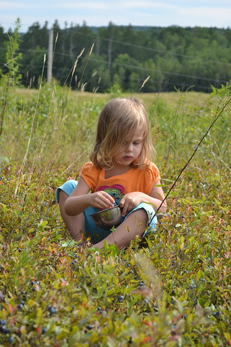 Picking wild blueberries in Maine