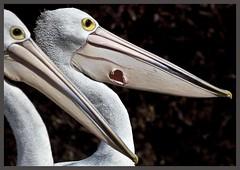 Pelican damaged Bill Clontarf-1= (Sheba_Also Thanks for 9+ Million Views) Tags: bill pelican damaged clontarf stunningphotogpin