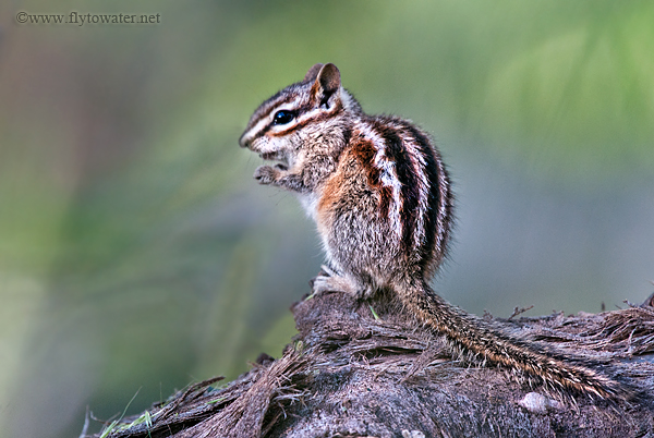 Snacking Chipmunk