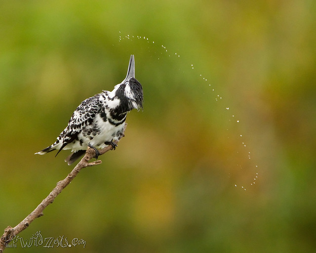 Roll Baby Roll....Pied Kingfisher