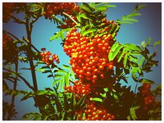 Green, Red and Blue (R D L) Tags: castle bush berry edinburgh craigmillar