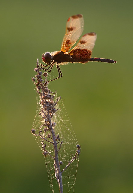 A Calico Pennant dragonfly by the Pansy Landing Road in northwest Wisconsin.