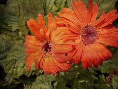 I perhaps owe having become a painter to flowers  ~ Claude Monet (Nancy Violeta Velez) Tags: flower texture photography interesting flickr plantae ourgarden asteraceae gerberas asterales angiosperms eudicots sunflowerfamily mutisieae asterids nancyvioletaphotography lgelectronicsms690 floraballatextures fifthmostusedcutflowerintheworld iperhapsowehavingbecomeapaintertoflowers~claudemonet pastoralmovnº2beethoven