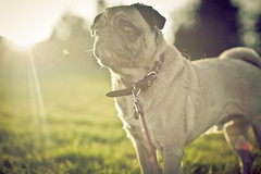 Backlit Pug {Explored} (Travis Lawton) Tags: camera old portrait people dog pet brown white cute dogs nature animal vertical backlight canon cutout puppy square mammal one looking view shot background space young adorable pug naturallight canine front full domestic stanley years doggy pup breed creature length wrinkles copy attentive isolated alert pedigree vertebrate wrinkled purebred pedigreed ef50mmf12l sunbacklighting pugbacklit putinthesun apugbaskinginsunlight
