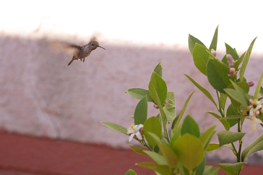 Anna's Hummingbird 082311