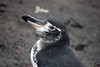 Galapagos Penguin (texpenguin) Tags: bird fauna penguin ecuador galapagos wildpenguin