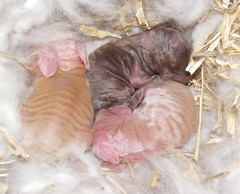 tawnees kits august 25  aaaaw (ixchelbunny) Tags: rabbit bunny babies kits rabbits angora ixchel ixchelbunny