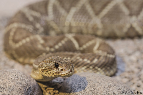 Cascavel (Crotalus durissus) - Neotropical Rattlesnake