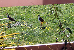 A family of masked lapwings (plovers) - two parents, three chicks.