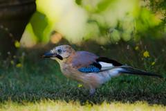 Ghiandaia (Alessandro Boletti) Tags: birds animals fauna uccelli animali murlo eurasianjay garrulusglandarius ghiandaia