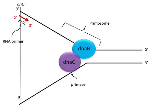 DNA replication in E. coli: The primosome