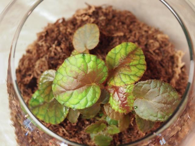 Begonia scintillans
