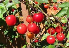 4138 morello cherries