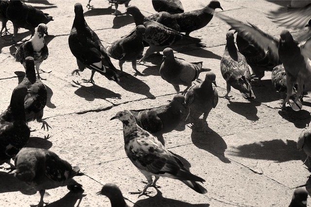Day 363 - Pigeons of St. Mark's Square