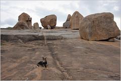 doggie's day out, hampi (nevil zaveri) Tags: dog india nature animals landscape photography photo blog rocks photographer photos hill stock surreal images boulders domestic photographs photograph granite geology karnataka zaveri hamp
