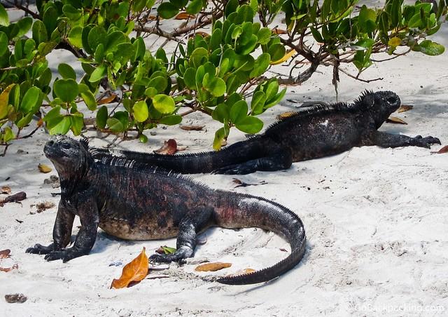 Marine Iguanas on Santa Cruz Island
