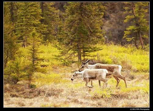 Porcupine Caribou (Rangifer tarandus granti)