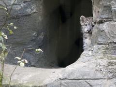 Shy Snow Leopard Cub (Jim Nicholson) Tags: baby cute zoo cub furry nikon leopard marwell snowleopard unciauncia d300 pantherauncia jimnicholson nikond300 sigma150500 flickrbigcats sigma150500apohsm sigma150500f5063apohsm