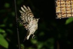 DSC06269 (dmarie13) Tags: haven birds backyard minolta sony north july ct teleconverter 2011 14x 600mm a900
