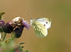 Hang on in there (Mr Grimesdale) Tags: butterfly stevewallace britishbutterflies mrgrimesdale