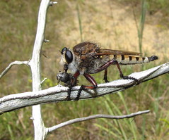 Giant Robber Fly (Bug Eric) Tags: ohio usa nature animals outdoors wildlife insects bugs flies northamerica diptera asilidae robberflies promachushinei giantrobberfly august262011