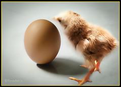 "Chicken N Egg (VERODAR) Tags: stilllife nikon egg sarawak borneo kuching bidayuh greatphotographers chicj kampunggiam ""nikonflickraward"" ""flickraward"" nikond5000 ""flickraward5"" verodar"