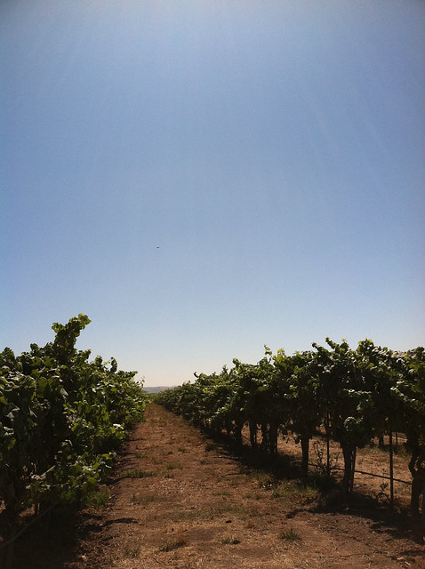 vineyard 2011 row of vines.jpg