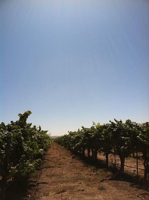 vineyard 2011 row of vines.jpg