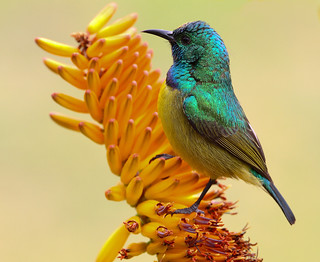 Beija-flor-de-colar / Collared Sunbird