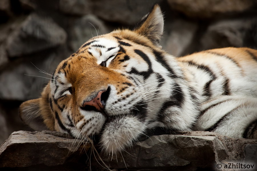спящий тигр фото новосибирский зоопарк