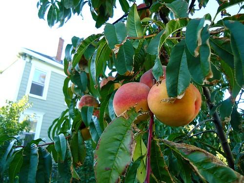 hardy peach