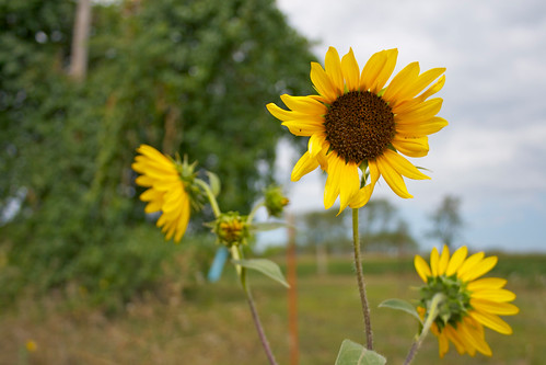 Roadside sunflowers