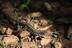 Lizard - Lucertola (Francesco's Photogallery) Tags: animals reptile amphibian lizard amphibians animale francesco reptiles lucertola rettile anfibio anfibi rettili sciolti