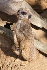 Meerkat (There and back again) Tags: holiday kent meerkat niceshot winghamwildlifepark