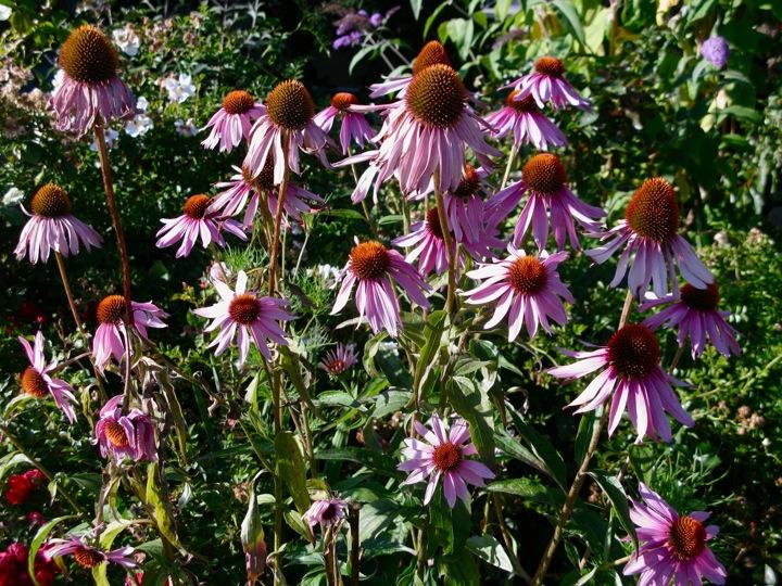 echinacea flower 003
