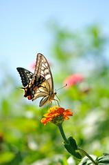 (myu-myu) Tags: flower nature japan butterfly insect nikon zinnia swallowtail   papiliomachaon  zinniaelegans  afsvrmicronikkor105mmf28g  d300s