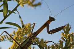 Praying Mantis (karstenphoto) Tags: flowers blue sky macro green nature field yellow canon bug mantis insect eyes zoom michigan praying 60mm antennae preying t1i